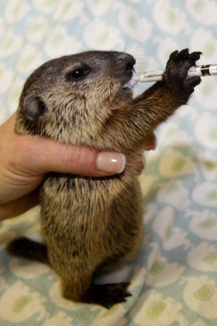 Baby woodchuck - photo#8