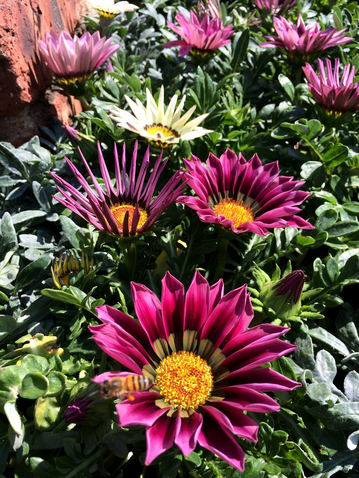 #Indigenous to RSA Gazania species are grown for their brilliant colours in the late spring and throughout the summer.