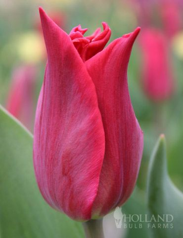 tall, plant in sheltered area from wind, late spring Tulipa fosteriana'Pieter De Leur'