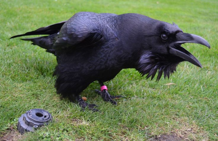 Merlin -- a female & mischevious member of the Tower group of ravens.