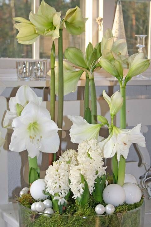 amaryllis jul - Google-søk