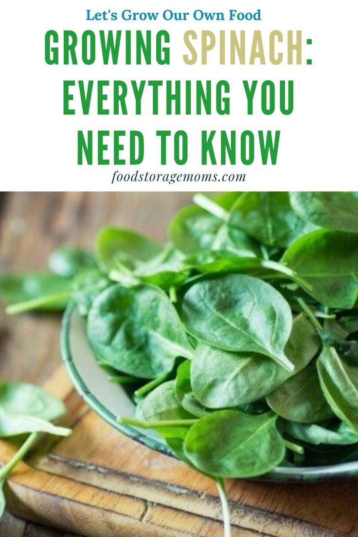 How To Grow Spinach From Seed The Complete Step By Step Guide Growing Spinach Spinach Seeds Growing Vegetables
