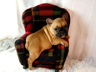 French Bulldog puppy, you cannot sit in a chair. Even if it is a small chair, you are a dog, not a person who can sit in chairs.