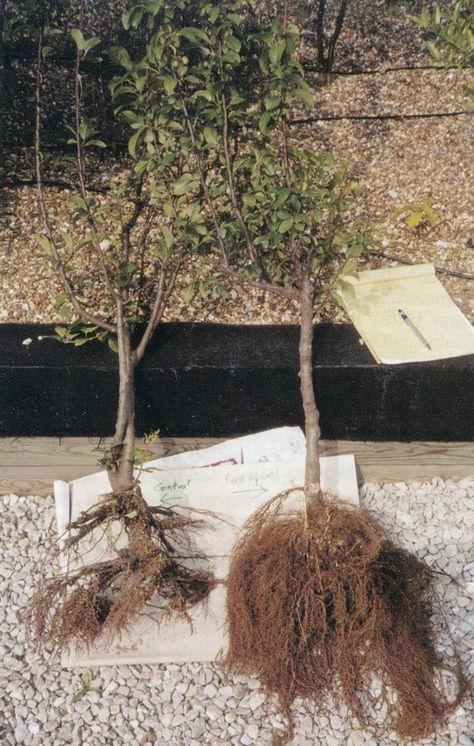 Root systems of a crabapple (Malus): treated with mycorrhizae on the right, untreated on the left. Photographs courtesy of Mycorrhizal Applications, Inc