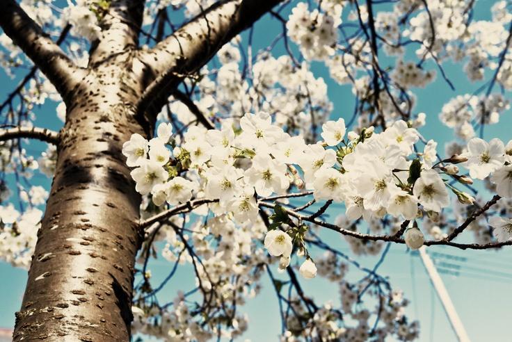 Sakura last spring in Tokyo