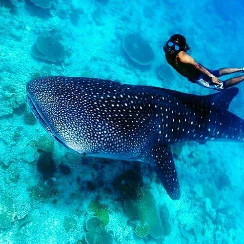 VISIT DONSOL, SORSOGON! Follow Philippine Islands and tag us to be featured here! Post submitted by @thetop10s_ -  Donsol,Philipines #donsol #whaleshark #butanding #swimming #itsmorefuninthephilippines #wowphilippines #travelphilippines  #explorephilippines #philippines #choosephilippines #travelph #comeseeph #ig_philippines #ig_pilipinas #wonderful_places #awesomeearth #bestvacations #beautifuldestinations #instagramphotos #nature #paradise #destination #pilipinas #travel #traveldiary…