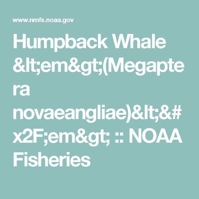 Humpback Whale <em>(Megaptera novaeangliae)</em> :: NOAA Fisheries