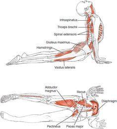 Yoga Anatomy for Upward Facing Dog, or Urdhva Mukha Svanasana   Loved and pinned by www.downdogboutique.com