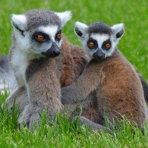 Ben 1.600 ettari della Foresta Pluviale degli Alberi Dragoni, habitat naturale di molte specie rare di lemuri, è diventata infatti un'area nazionale protetta per decreto governativo grazie all'impegno dell'unica stazione di ricerca italiana in Madagascar