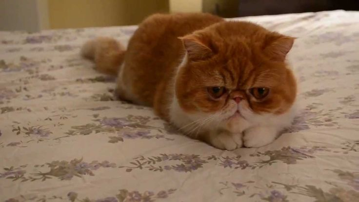 Extremely Cute Cat Video of an Exotic shorthair/flat face cat.