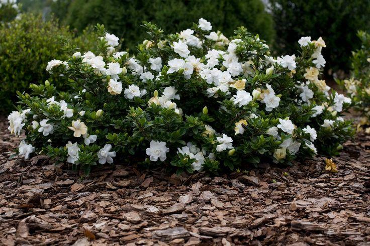 dwarf gardenia radicans….frost proof!!!