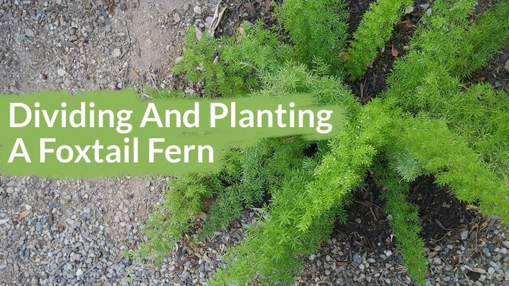 Getting 2 Plants From 1 Dividing Planting A Foxtail Fern Youtube Foxtail Fern Asparagus Fern Plants