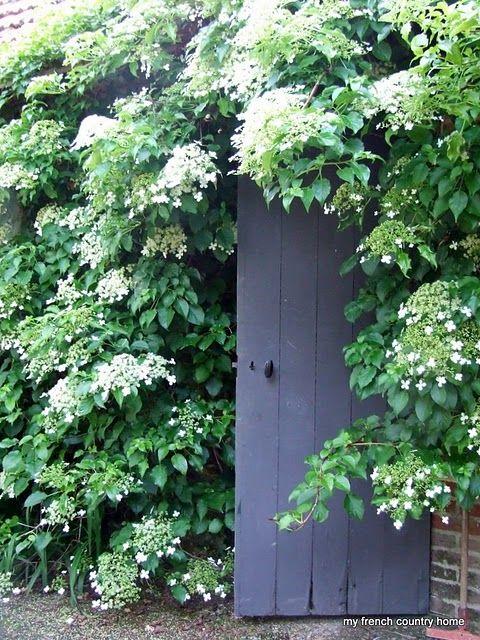 climbing hydrangea+ gray door