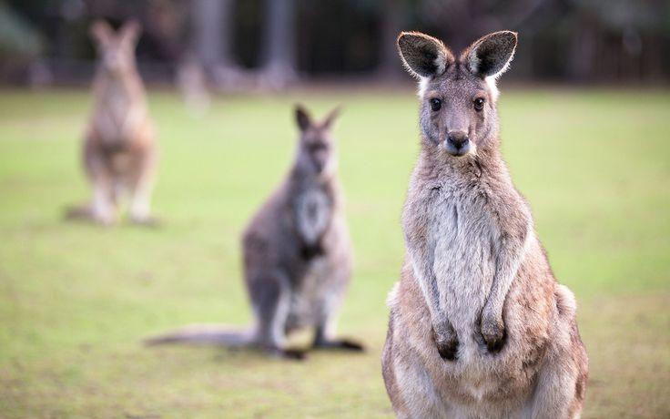 Quanto sono affascinanti gli animali australiani? Ecco un elenco delle specie che popolano l'Australia e l'isola della Tasmania e dove trovarle!