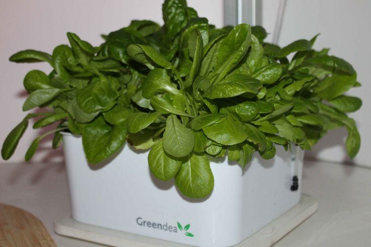 Coltivare basilico in casa senza problemi, freschezza tutto l'anno con #Orto Arredo il #coltivatore #idroponico