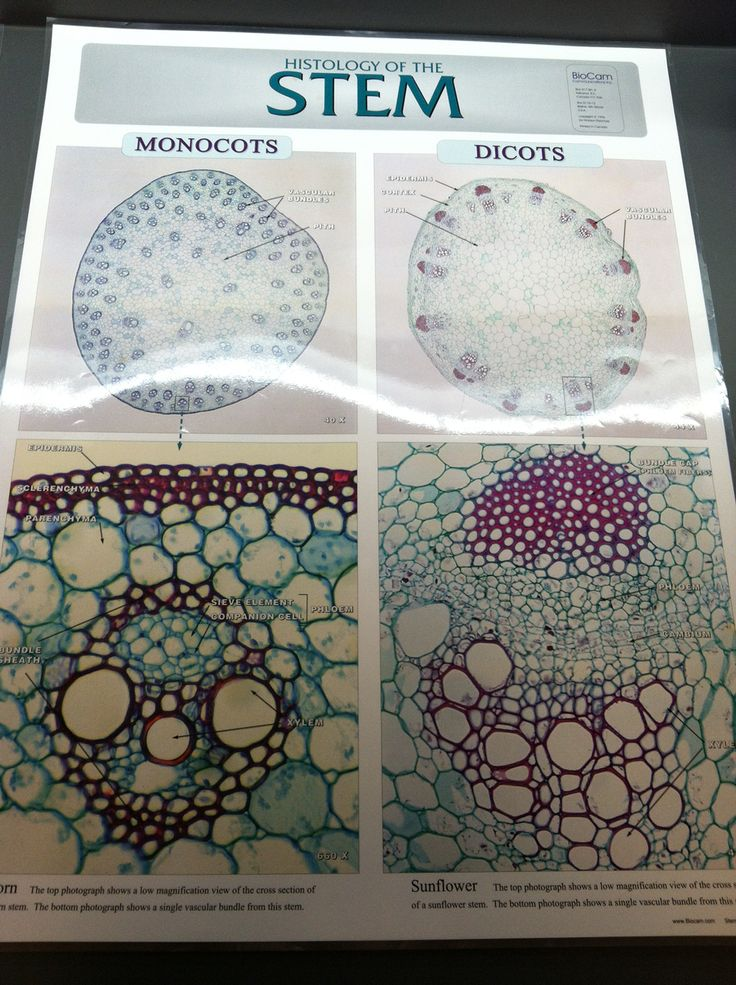 Monocot Vs Dicot Plant Stem Cells Escuela Tissue