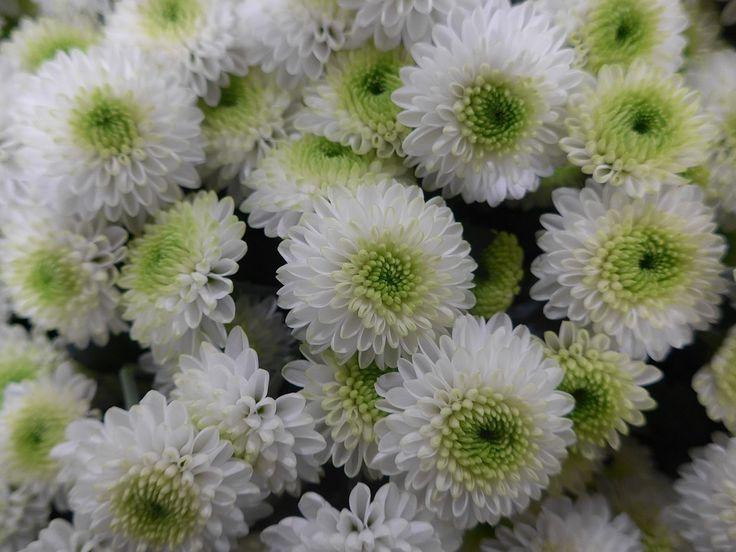 Krysantemum, Chrysanthemum grandiflorum-hybrider      syn. Chrysanthemun x hortorum