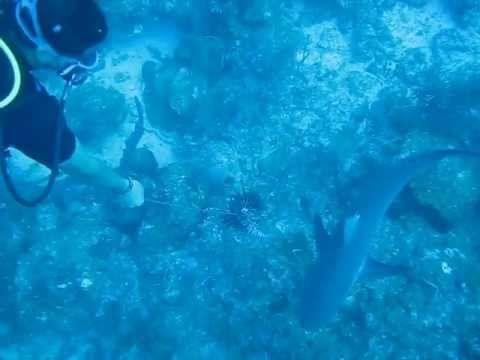 Feeding sharks in Old Providence Islands - Isla de Providencia - http://www.nopasc.org/feeding-sharks-in-old-providence-islands-isla-de-providencia/