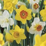 Planting Flower Bulbs is one of the easiest, most carefree ways to have colorful blossoms