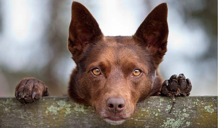 Breeds of Australian working dogs: The Kelpie.