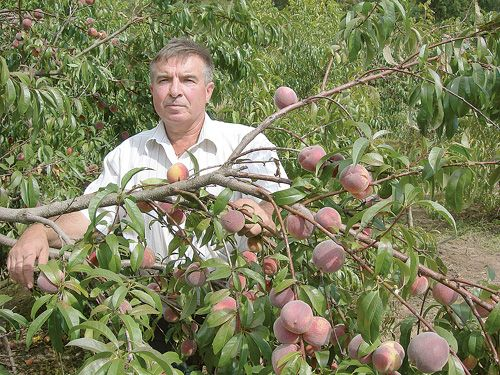 Для успешного роста персика важно правильно выбрать место посадки
