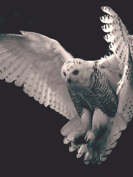 картинка фото летящей белой совы в графике чтобы