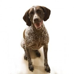 Il bracco tedesco è un cane intelligente, solido e armonioso. Dotato di buona memoria, risulta essere un buon guardiano.