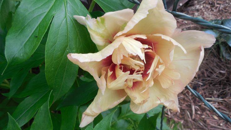 09.07.2017 Old Rose Dandy?