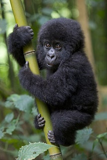 baby gorilla   ...........click here to find out more http://googydog.com                               P.S. PLEASE FOLLOW ME IN HERE @Yulia Bekar Bekar Bekar watson