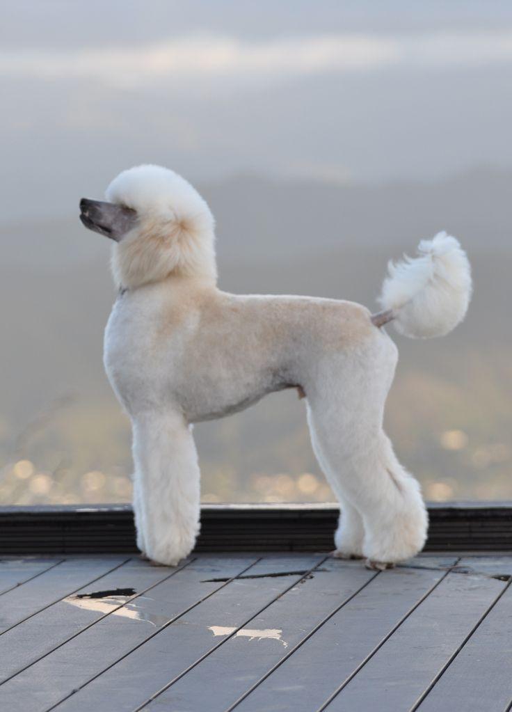 Regal standard poodle.