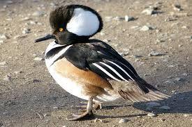 Wild Duck Species