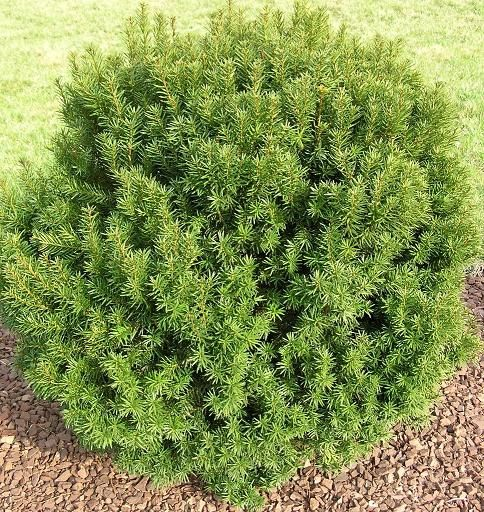 Types of Yew | Types Of Yews taxus yew shrub related keywords & suggestions - taxus ...