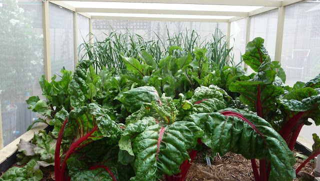 September 2015.....  We are harvesting silverbeet leaves and lettuce heads from Ecobed 1 and soon we will have baby beet and carrots.  The onions, garlic and leeks have had blackfly on them, but spraying with Eco neem oil seems to be controlling them.
