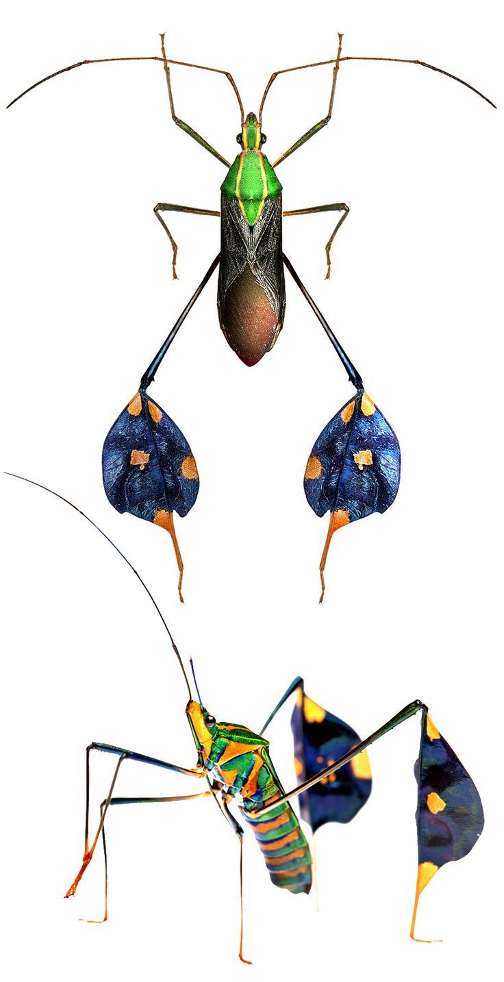 Diactor bilineatus