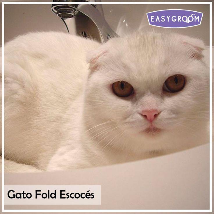Gato Fold Escocés #CatBreed #Mininos #CatLovers #Gatunos #Sweet #Gato #Felino #Raza