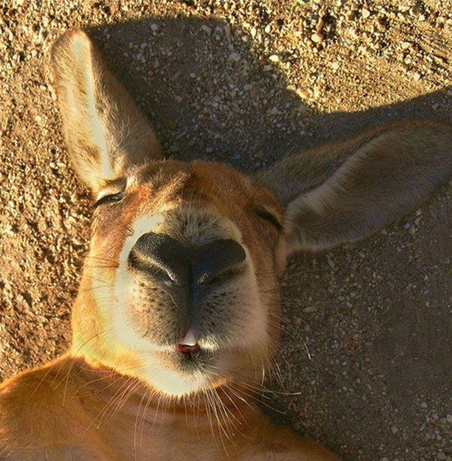 Cute photos of sleeping kangaroos