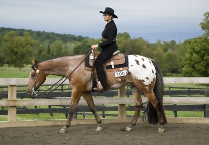 The Ideal Western Pleasure Horse. I would like to see the nose closer to the vertical though.