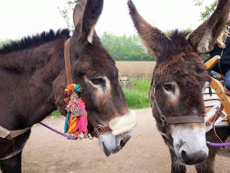 stichting de Grote ezel (non-profit) - onze opvang ezels