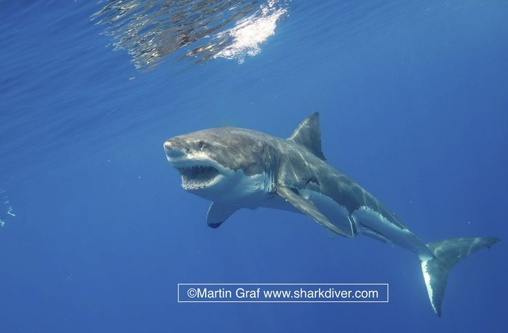 Shark Diver : Shark Diving : Swimming With Sharks: What is sustainable shark diving?
