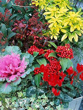 Colourful plants for a winter garden