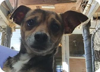Loxahatchee, FL - Chihuahua Mix. Meet Fritz, a dog for adoption. http://www.adoptapet.com/pet/17312073-loxahatchee-florida-chihuahua-mix