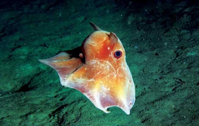 Dumbo Octopus: Fun Facts, Pictures & Information