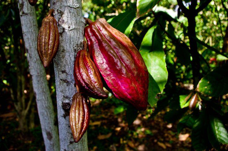 Cabosse de cacao Criollo ( un must rare).jpg | Flickr - Photo Sharing!