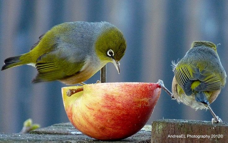 Holding Up the Apple! (look at the bird on the right)