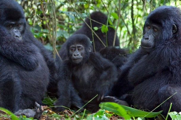 Gorillas of Rwanda Luxury Travel Tours & Trips | Peregrine Reserve