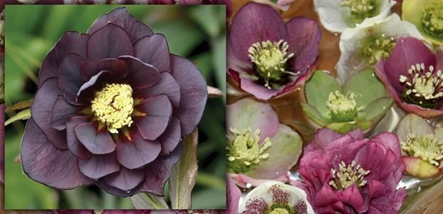 HELLEBORUS DOUBLE PURPLE - The Diggers Club