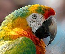 Ara, Papagei, Vogel, Hybrid, Rot, Grün