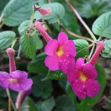 Harry Williams Orchid Pansy for sale buy Achimenes 'Harry Williams'