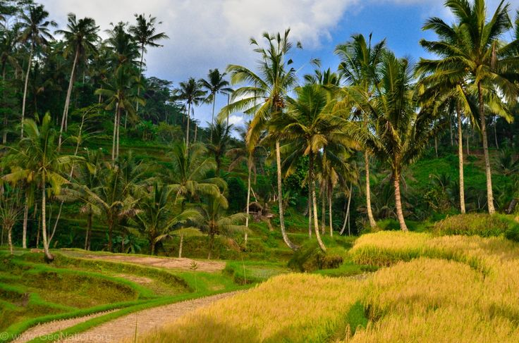 Rice field near Gunung Kawi Temples  #Indonesia #Bali