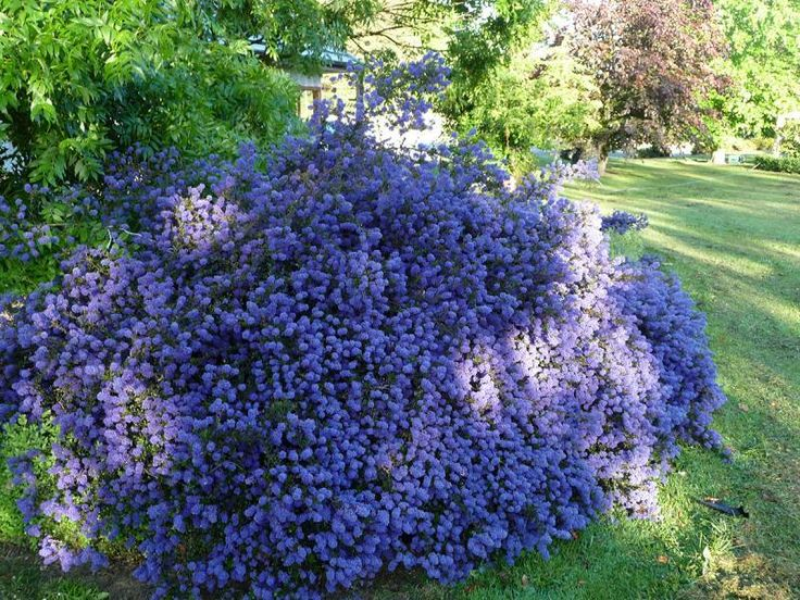 ceanothus 39 blue sapphire 39 is a terrific plant making long. Black Bedroom Furniture Sets. Home Design Ideas